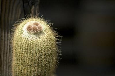 cactus's foot pad
