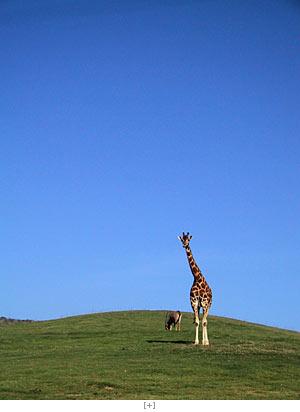 giraffe lover #2