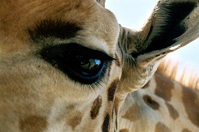 giraffe lover #4