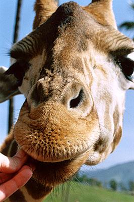 giraffe lover #3
