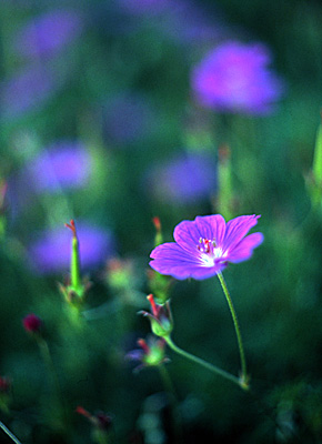 violet #1
