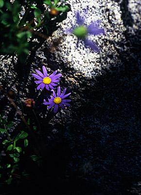 violet #2