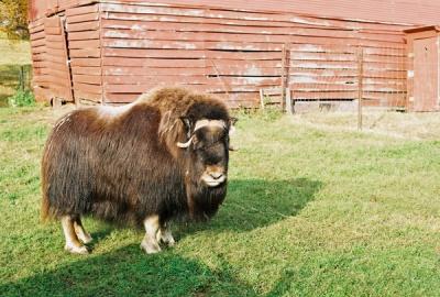musk ox farm #2