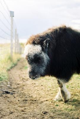 a shy calf