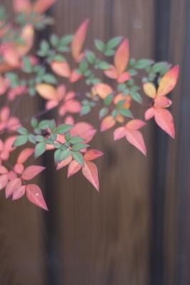 lucky plant - nanten #2