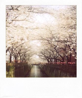 sakura - endless