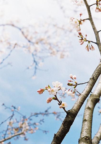 Sakura One Year Ago #1
