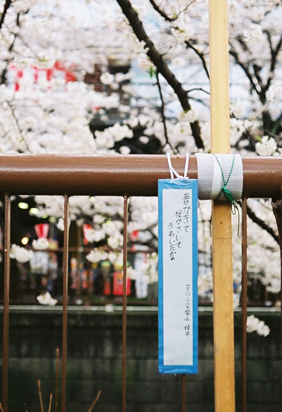 Sakura Haiku #1
