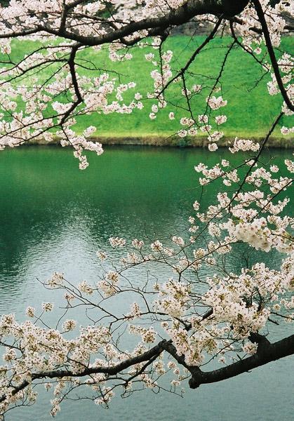 Sakura One Year Ago #5