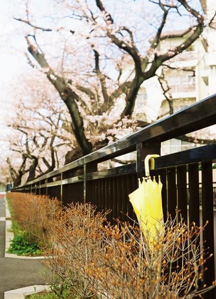 Sakura + Yellow Umbrella