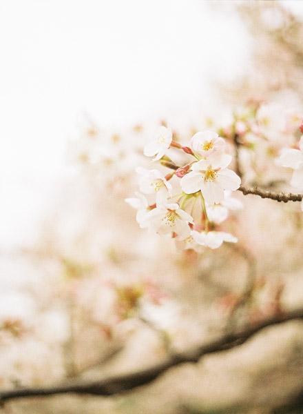 Sakura One Year Ago #2