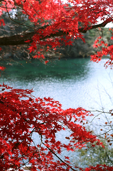 Red Leaves #1