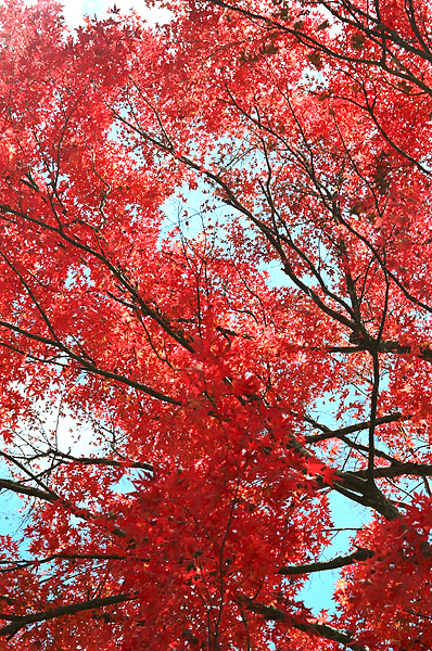 Red Leaves #2