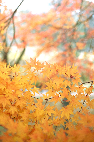 Yellow Leaves #2
