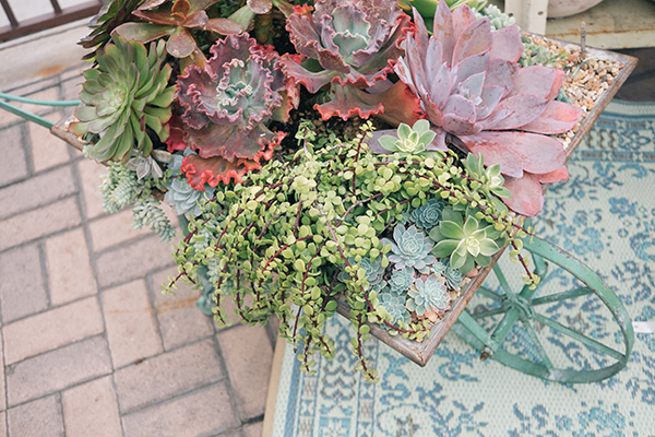 Succulents in Wheelbarrow