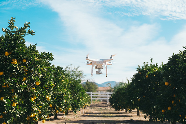 Orange Trees and A Drone