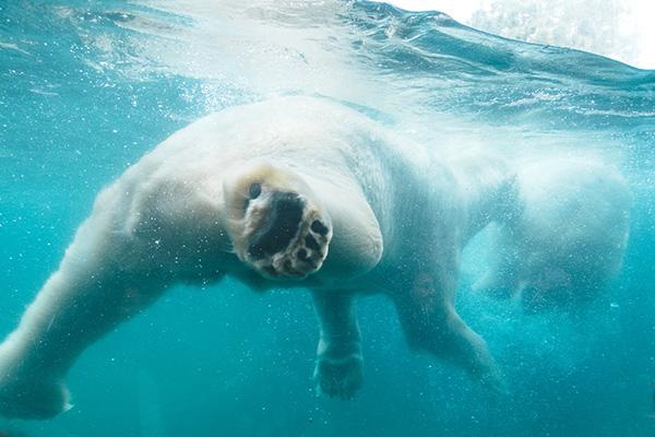 polar bears #1