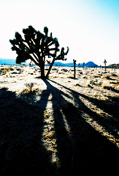 Joshua Tree and Shadow