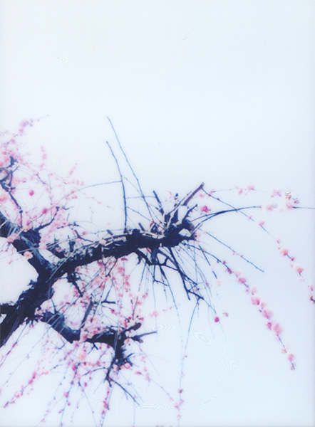 Weeping Ume Tree #2