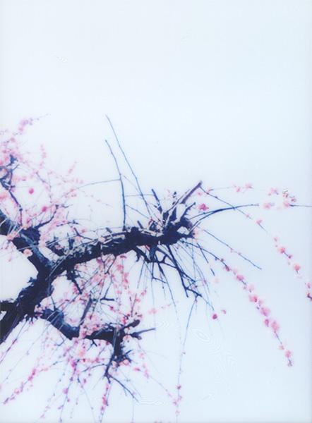 Weeping Ume Tree #2